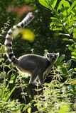 Backlit lemur. Backlit ring tailed lemur on a summer evening stock image