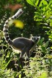 Backlit lemur Stock Image