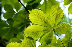 backlit liści, Zdjęcie Royalty Free