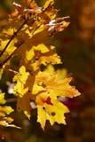 Backlit liście w górach nad Provo, Utah Obraz Stock