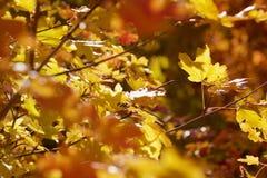 Backlit liście w górach nad Provo, Utah Obraz Royalty Free