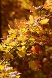 Backlit liście w górach nad Provo, Utah Obrazy Stock