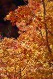 Backlit liście w górach nad Provo, Utah Zdjęcie Royalty Free