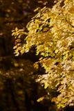 Backlit liście w górach nad Provo, Utah Fotografia Stock