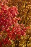 Backlit liście w górach nad Provo, Utahi Obrazy Stock