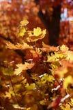 Backlit liście w górach nad Provo, Utahi Zdjęcie Royalty Free