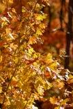 Backlit liście w górach nad Provo, Utahi Zdjęcia Stock