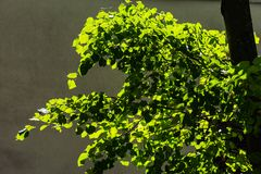 Backlit lime or linden tree foliage. Against the background of a plastered wall. Sunny summer day stock image