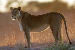 Backlit lioness. (Panthera leo), Kalahari, South Africa stock image