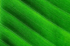 Backlit macro close up details of fresh banana leaf wavy structure texture background Royalty Free Stock Photo