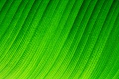 Backlit macro close up details of fresh banana leaf wavy structure with visible leaf veins and grooves. As a natural texture green background Royalty Free Stock Photography