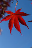 Backlit maple leaf in front of blue sky Royalty Free Stock Photo