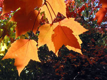 Backlit maple leaves. Closeup on bright orange maple leaves illuminated by the sun Stock Photography