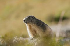 Backlit marmot portait in the french alps, Marmota marmota, Vanoise, France royalty free stock images