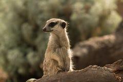 Backlit meerkat Stock Images