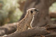 Backlit meerkat Stock Photos