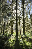 Backlit Mossy Douglas Fir Trees Royalty Free Stock Photos