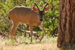 Backlit Mule Deer Royalty Free Stock Photo