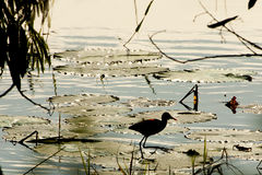 Backlit Northern Jacana Walking on Lily Pads Stock Photo