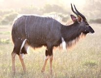 Backlit Nyala Antelope Royalty Free Stock Image