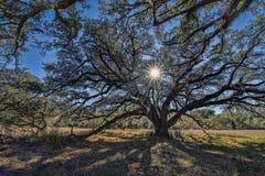 A Backlit Oak At Beautiful Hampton Plantation stock photo