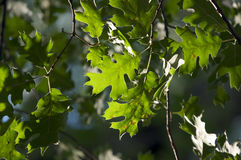 Backlit Oak Leaves Royalty Free Stock Images