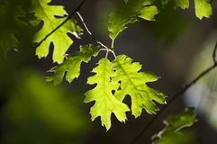 Backlit Oak Leaves Stock Photo