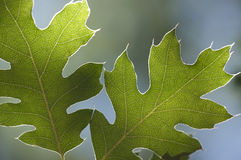 Backlit Oak Leaves Royalty Free Stock Image
