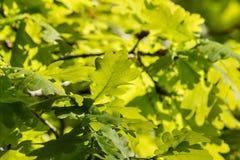 Backlit oak tree leaves in springtime Royalty Free Stock Image