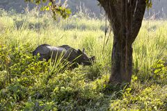 Backlit one-horned rhinoceros standing in profile, Nepal stock image