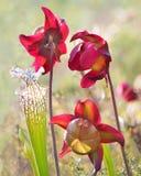 Backlit ostrość Brogująca Ciemnopąsowa miotacz roślina obraz royalty free