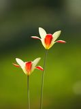 Backlit pair of tulips Royalty Free Stock Photo