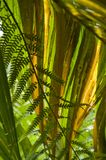 Backlit palm frond isolates a fern frond in the foreground. The Monteverde Cloud Forest Reserve was established in 1972 and initially covered some 810 acres of royalty free stock photography