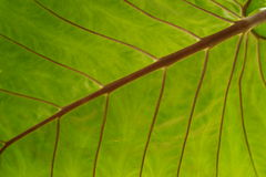 Backlit palm leaf Stock Images