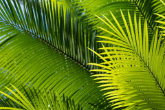 Backlit palm tree leaves. Closeup of backlit palm tree leaves royalty free stock photo