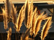 backlit pampas grass Royalty Free Stock Images