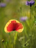 Backlit papaver op gebied van wilde bloemen Stock Afbeelding