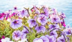 Backlit petunia flowers close-up Royalty Free Stock Photos