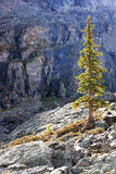 Backlit pine tree, Opabin Plateau, Yoho National Park, Canada Stock Photo