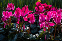 Backlit pink Cyclamen flowers. Center focus on a beautiful group of pink Cyclamen in a flower garden Stock Photo