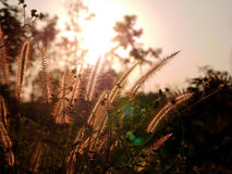 Backlit Poaceae at sunset Royalty Free Stock Photos