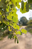 Backlit Poplar Leaves Stock Photography