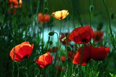 Backlit Poppies. Poppy flowers in a meadow with back-lighting royalty free stock photos