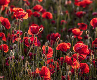 Backlit poppies in a field Royalty Free Stock Photos