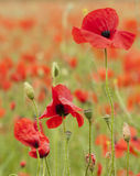 Backlit poppies in a field Royalty Free Stock Photography