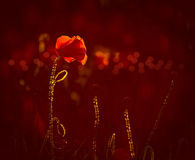 Backlit poppies and lens flare Stock Image