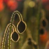 Backlit poppy buds. Close up of backlit poppy buds royalty free stock photography