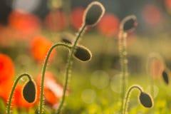 Backlit poppy buds Royalty Free Stock Photography