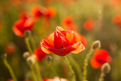 Backlit poppy flower Stock Image