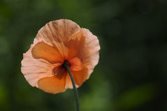 Backlit Poppy. Backlit red poppy with a natural-looking out of focus background royalty free stock photography